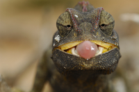 Desert / Namaqua Chamaeleon (Chamaeleo namaquensis) juvenile