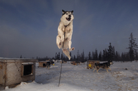 Sled dog leaping into the air, Canada