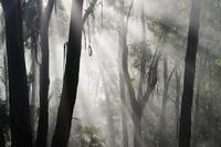 Morning fog in eucalypt forest, Great Otway National Park, V
