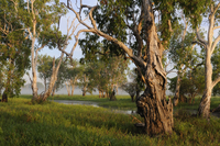 Paperbark gum trees (Melaleuca sp) growing along Yellow Wate