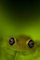 Tree frog {Boophis sp}  Madagascar 20070000758| 写真素材・ストックフォト・画像・イラスト素材|アマナイメージズ