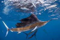 Atlantic sailfish {Istiophorus albicans} attacking bait ball