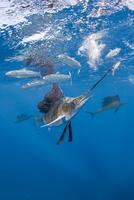 Atlantic sailfish {Istiophorus albicans} hits sardine with b