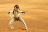 Verreaux's sifaka (Propithecus verreauxi) running with young