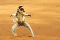 Verreaux's sifaka (Propithecus verreauxi) running with young 20070000776  写真素材・ストックフォト・画像・イラスト素材 アマナイメージズ