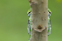 Oustalet's chameleon (Furcifer oustaleti) eyes visible eithe