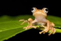 Frog (Boophis sp) on leaf, Madagascar 20070000780| 写真素材・ストックフォト・画像・イラスト素材|アマナイメージズ