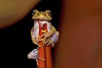 Frog (Boophis idae) on Heliconia flower, Madagascar 20070000781| 写真素材・ストックフォト・画像・イラスト素材|アマナイメージズ