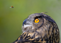 Eagle owl (Bubo bubo) watching insect in flight, captive