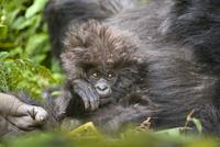 Mountain gorilla (Gorilla beringei beringei) mother and baby 20070000798  写真素材・ストックフォト・画像・イラスト素材 アマナイメージズ