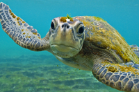 Galapagos green turtle (Chelonia mydas agassisi) underwater  20070000804| 写真素材・ストックフォト・画像・イラスト素材|アマナイメージズ