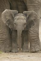 African elephant (Loxodonta africana) baby standing between