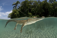 Saltwater crocodile (Crocodylus porosus) swimming at water s 20070000824| 写真素材・ストックフォト・画像・イラスト素材|アマナイメージズ
