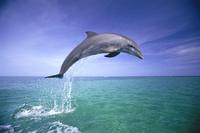 Bottlenosed dolphin (Tursiops truncatus) jumping, Caribbean