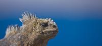 Marine iguana {Amblyrhynchus cristatus} Plaza Island, Galapa