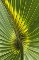 Detail of leaf of Cabbage Palmetto (Sabal palmetto) Sanibel