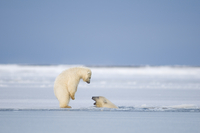Two Polar bear (Ursus maritimus) spring cubs playing in and