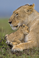 African lion (Panthera leo) mother and very young cub, Masai