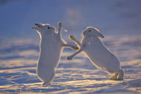 Two Arctic hares (Lepus arcticus) fighting, Northeast Greenl