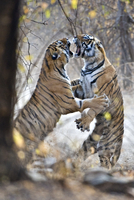 Bengal Tiger (Panthera tigris tigris) female fighting with h
