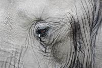 Close up of eye of a bull African Elephant (Loxodonta africa 20070000894| 写真素材・ストックフォト・画像・イラスト素材|アマナイメージズ