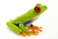 Red eyed tree frog (Agalychnis callidryas) sitting