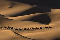 Dromedary camel (Camelus dromedarius) train crossing Merzoug
