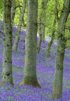 Bluebells (Hyacinthoides non-scripta) flowering in oakwood,