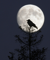 Silhouette of Hooded Crow (Corvus cornix) against full moon,