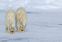 Polar Bear (Ursus maritimus) mother and cub (18 months) walk 20070000975  写真素材・ストックフォト・画像・イラスト素材 アマナイメージズ