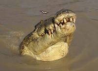 Saltwater crocodile (Crocodylus porosus) watching butterfly,