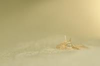 Horned viper {Cerastes cerastes} buried in sand, captive, fr