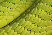 Eastern green mamba {Dendroaspis angusticeps} skin detail, c