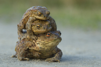 Common european toad {Bufo bufo} two males attempting to mat