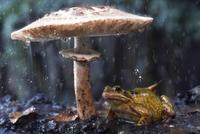 Common frog (Rana temporaria) sheltering from rain under toa 20070001007| 写真素材・ストックフォト・画像・イラスト素材|アマナイメージズ