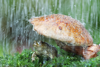 Common european toad (Bufo bufo) sheltering under toadstool