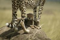 Cheetah (Acinonyx jubatus) female with cub lying in shade un 20070001045  写真素材・ストックフォト・画像・イラスト素材 アマナイメージズ