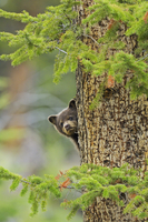 Black bear (Ursus americanus) cub, brown phase, looking out