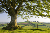 Rolling countryside and tree on Raddon Hill, Devon, England.