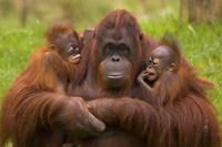 Female Orang Utan (Pongo pygmaeus) sitting, holding two youn