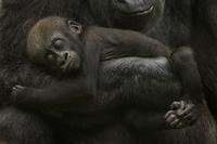 Young Western lowland gorilla (Gorilla gorilla gorilla) slee 20070001092  写真素材・ストックフォト・画像・イラスト素材 アマナイメージズ