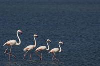 Small flock of Greater flamingo (Phoenicopterus roseus) wadi