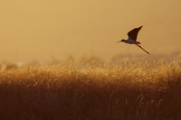 Black-winged stilt (Himantopus himantopus) in flight over lo