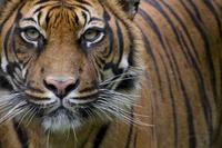 Head portrait of Sumatran tiger (Panthera tigris sumatrae) c