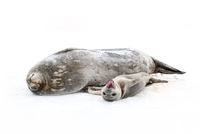 Weddell seal {Leptonychotes weddellii} mother with pup on ic