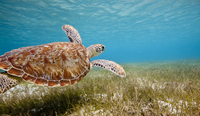 Green turtle (Chelonia mydas) swimming over sea grass, Grena
