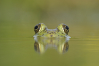 Head portrait of Bullfrog (Rana catesbeiana) partially subme