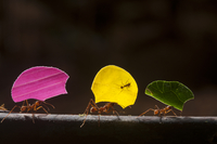Leaf cutter ants (Atta cephalotes) carrying sections of leav