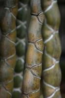 Tortoise shell bamboo (Phyllostachys heterocycla)stems, Raku