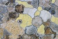 Map lichen (Rhizocarpon geographicum) on rock, Menorca, Bale